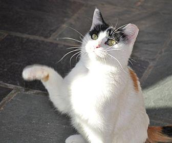 Domestic Shorthair Cat for adoption in Aurora, Illinois - Elsa