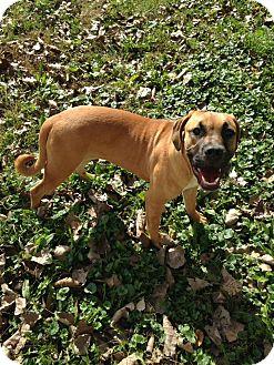 Boxer/Bullmastiff Mix Puppy for adoption in Bolingbrook, Illinois - GOLDIE GIRL
