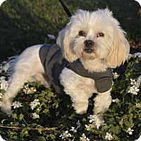 Maltese/Toy Poodle Mix Dog for adoption in Las Vegas, Nevada - Snowflake