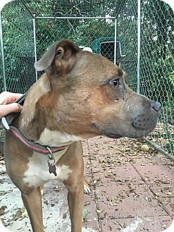 Pit Bull Terrier Mix Dog for adoption in Boston, Massachusetts - Diem