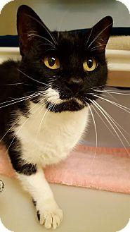 Domestic Shorthair Cat for adoption in Salisbury, Massachusetts - Miss Cleo