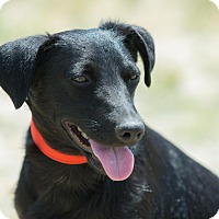 Labrador Retriever Mix Puppy for adoption in Santa Monica, California - Fiby