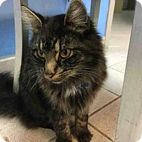 Maine Coon Cat for adoption in Canfield, Ohio - BISCUIT