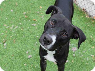 Greyhound/Pit Bull Terrier Mix Dog for adoption in Atlanta, Georgia - PHOENIX