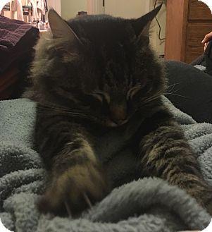 Domestic Mediumhair Cat for adoption in Palo Cedro, California - Thomas