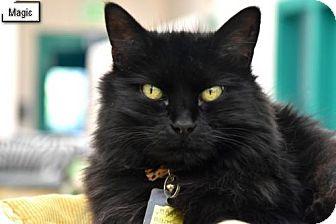 Domestic Longhair Cat for adoption in Lakewood, Colorado - Magic