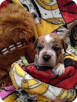 Boxer/Beagle Mix Puppy for adoption in Hanover, Pennsylvania - Luke Skywalker (The Star Wars Clan)