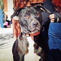 Labrador Retriever/Pit Bull Terrier Mix Dog for adoption in Alpharetta, Georgia - Maxilynn