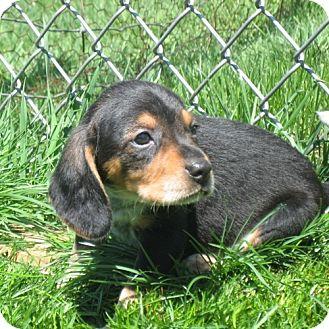 Beagle Mix Puppy for adoption in Novi, Michigan - Downy