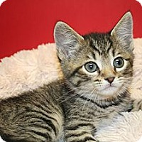 Adopt A Pet :: COLETTE - SILVER SPRING, MD