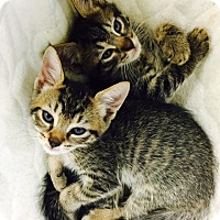 Adopt A Pet :: Kittens - Jupiter, FL