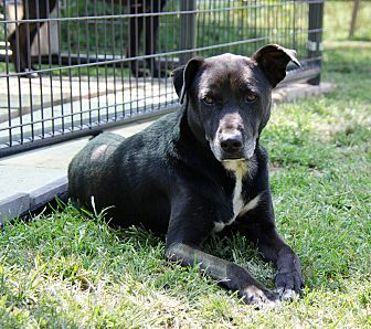 Labrador Retriever Mix Dog for adoption in Midlothian, Virginia - Nash