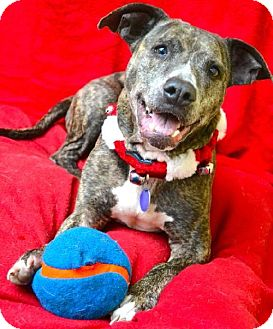 American Staffordshire Terrier Mix Dog for adoption in Chattanooga, Tennessee - Ambrosia