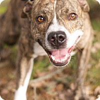 Adopt A Pet :: Capone - Lincoln, CA