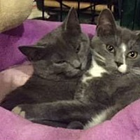 Adopt A Pet :: Grey & White Kitten Siblings - New City, NY