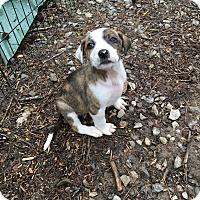 Adopt A Pet :: Zanna - Hohenwald, TN