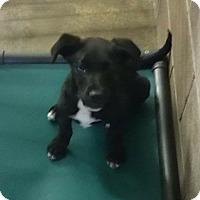 Adopt A Pet :: Simon - Albany, NY