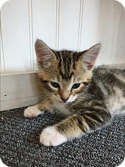 American Shorthair Kitten for adoption in San Jose, California - Tigger