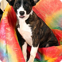 Adopt A Pet :: Willow BC Shepherd Mix - St. Louis, MO