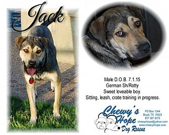American Staffordshire Terrier/German Shepherd Dog Mix Dog for adoption in Boyd, Texas - Jack aka Handsome Jackmam