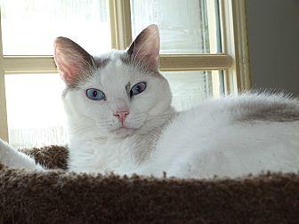 Siamese Cat for adoption in Stafford, Virginia - Deja Vue