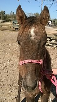 Quarterhorse Mix for adoption in Hitchcock, Texas - Macie