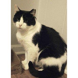 Domestic Mediumhair Cat for adoption in Cleveland, Ohio - Elliot