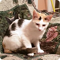 Calico Kitten for adoption in Berkeley Hts, New Jersey - Candy
