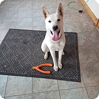 Husky/German Shepherd Dog Mix Dog for adoption in Walthill, Nebraska - Lily