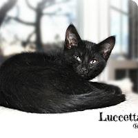 Adopt A Pet :: Luccetta - Glen Mills, PA