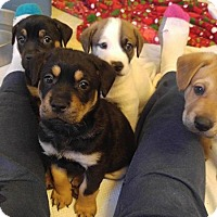 Shepherd (Unknown Type)/Bernese Mountain Dog Mix Puppy for adoption in Wytheville, Virginia - Marlo pups