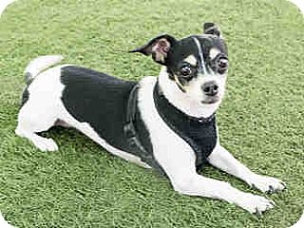 Chihuahua Mix Dog for adoption in Agoura, California - Pinkie