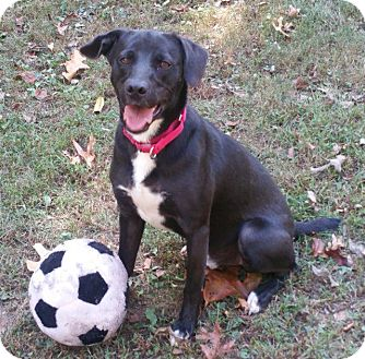Labrador Retriever Mix Dog for adoption in Crossville, Tennessee - Jax