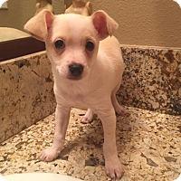 Adopt A Pet :: Chase - Sacramento, CA