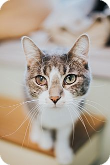 Domestic Shorthair Cat for adoption in Indianapolis, Indiana - Zane