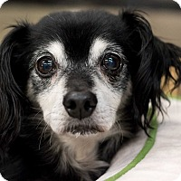 Chihuahua/Dachshund Mix Dog for adoption in Minneapolis, Minnesota - Lenny