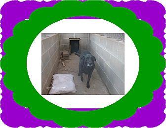Labrador Retriever Mix Dog for adoption in KELLYVILLE, Oklahoma - THOR