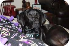 Labrador Retriever Mix Dog for adoption in Homewood, Alabama - Cash