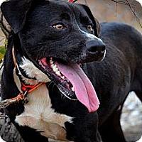 Boxer/Labrador Retriever Mix Dog for adoption in New Roads, Louisiana - Riley