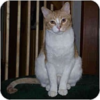 Domestic Shorthair Cat for adoption in Redlands, California - Gulliver