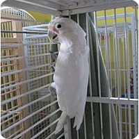 Cockatoo for adoption in Edgerton, Wisconsin - Bogie