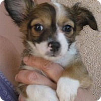 Adopt A Pet :: Durango - Phoenix, AZ