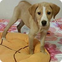 Adopt A Pet :: Comet - Detroit, MI