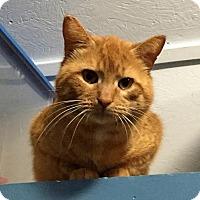 Adopt A Pet :: Crookshanks - Fredericksburg, VA