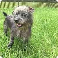 Tibetan Terrier/Shih Tzu Mix Dog for adoption in Myakka City, Florida - Tommy