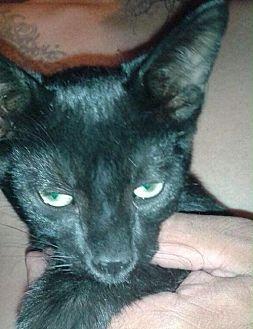 Domestic Shorthair Kitten for adoption in Santa Monica, California - Ludo