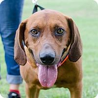 Adopt A Pet :: Barley - Greenwood, SC