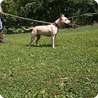 Pit Bull Terrier Dog for adoption in Canastota, New York - Toni