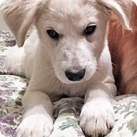 Adopt A Pet :: Snow / pup - pending - Beacon, NY