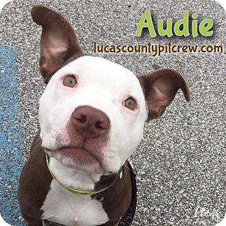 American Staffordshire Terrier/American Pit Bull Terrier Mix Puppy for adoption in Toledo, Ohio - Audie